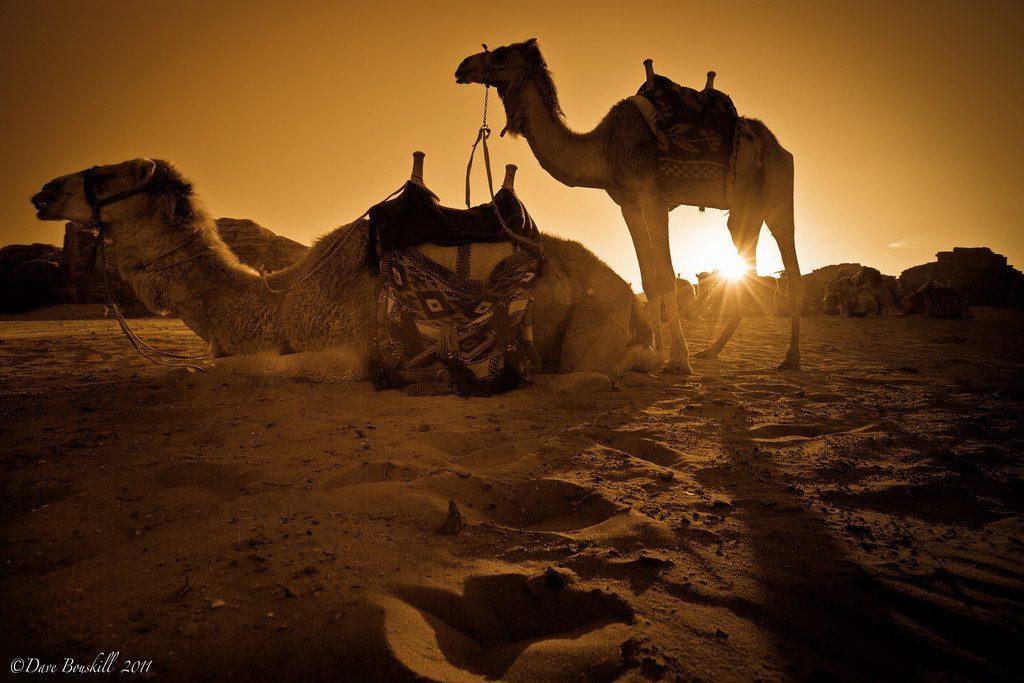 Wadi-Rum-Camel-sunset-1-XL1