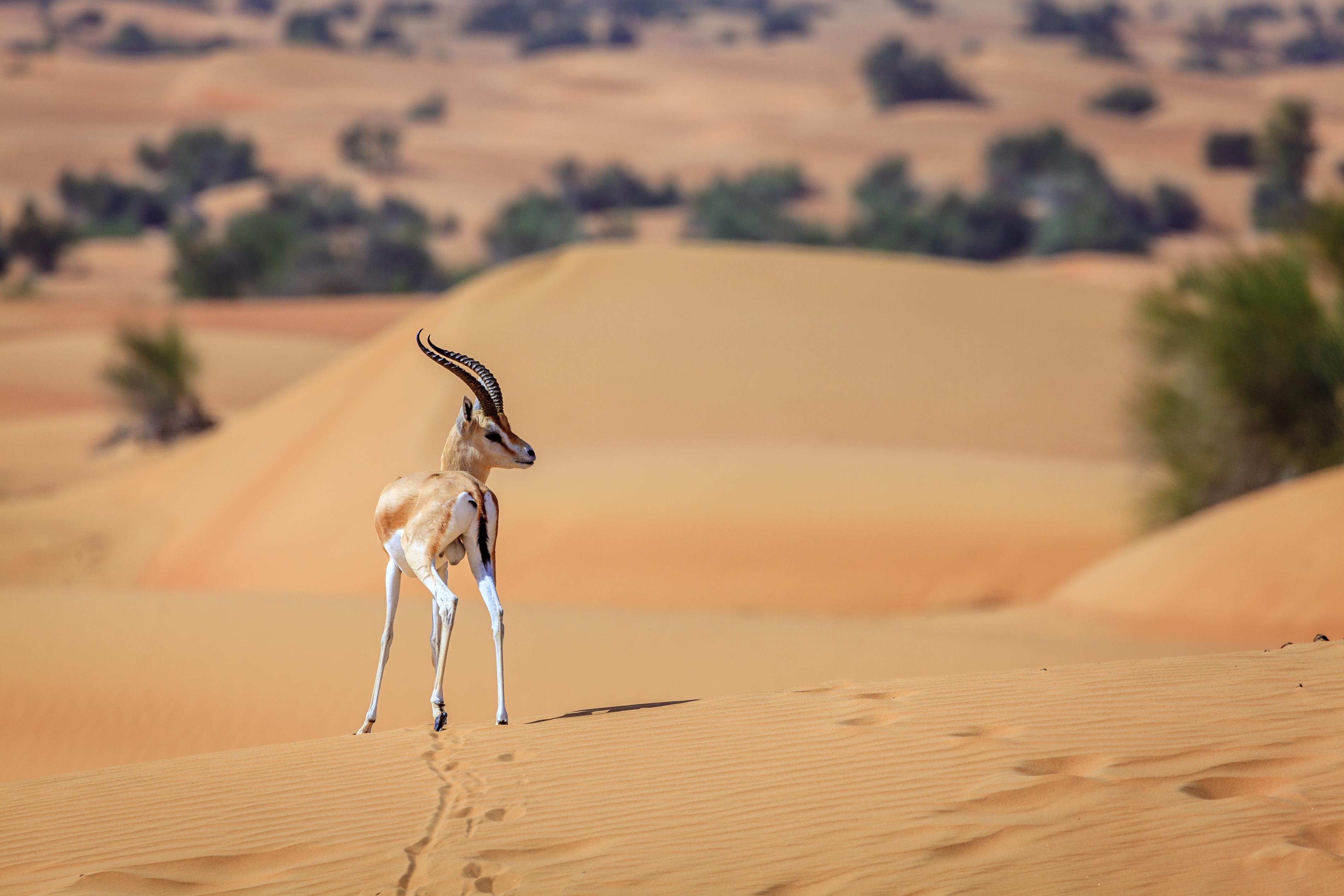 Desert Falcon UAE Dhabi